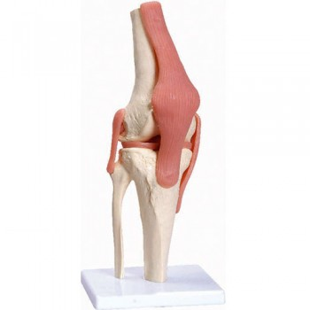 DELUXE FUNCTIONAL KNEE JOINT MODEL A82/1