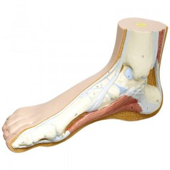 NORMAL FOOT MODEL M30